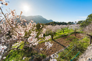 Blossoming almond trees in the interior of Mallorca